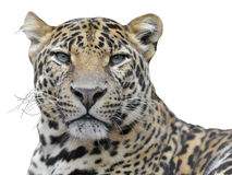 Isolated portrait of leopard royalty free stock photography