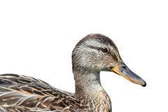 Isolated portrait of a mallard Royalty Free Stock Image