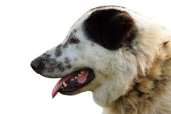 Isolated portrait of romanian shepherd dog Royalty Free Stock Photography
