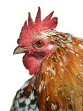 Isolated portrait of rooster Stock Images