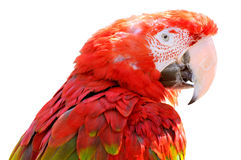 Isolated portrait Scarlet macaw Stock Photo