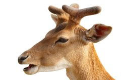 Isolated portrait of young fallow deer buck royalty free stock photos
