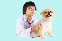Isolated portrait of young female veterinarian checking up Pomeranian dog in veterinary clinic. Studio shot of girl and puppy on. Pastel blue background royalty free stock photography