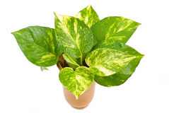 Isolated pothos in Pottery vase. Isolated green plant in Pottery vase, fresh pothos Stock Photography