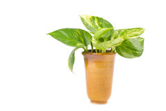 Isolated pothos in Pottery vase Stock Image