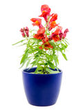 Isolated potted blue Antirrhinum flower. Isolated potted blue dragon flower (Antirrhinum Stock Image