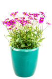 Isolated potted blue dasy flower. (Brachyscome Multifida Magenta Delight Stock Image