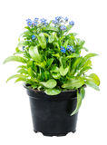 Isolated potted blue Myosotis flower Royalty Free Stock Images