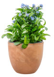 Isolated potted blue Myosotis flower Stock Image