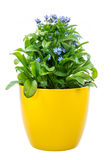 Isolated potted blue Myosotis flower. (forget-me-not Royalty Free Stock Images