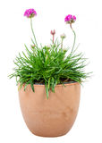 Isolated potted pink Armeria flower. (sea thrift or sea pink Stock Photo