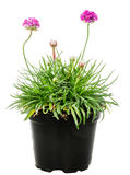 Isolated potted pink Armeria flower. (sea thrift or sea pink Stock Photography