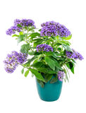 Isolated potted purpled garden heliotrope flower Royalty Free Stock Photos