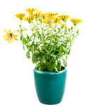 Isolated potted yellow Osteospermum flower Royalty Free Stock Photo