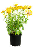 Isolated potted yellow Osteospermum flower Stock Image