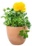 Isolated potted yellow Ranunculus flower. Closeup of an isolated potted yellow Ranunculus flower stock photos