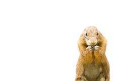 Isolated Prairie Dog. The isolated picture of a prairie dog Stock Photography