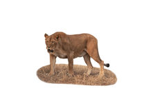 Isolated predatory lioness Royalty Free Stock Images
