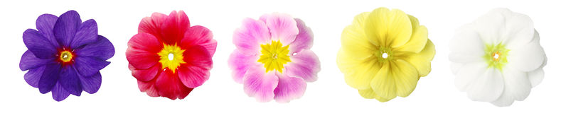 Isolated primroses in a row. Five primroses in a row. Isolated over white Stock Images