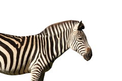 Isolated profile view of a zebra Royalty Free Stock Photo