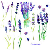 Isolated Provence lavender flowers. Royalty Free Stock Photo