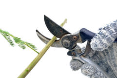 Isolated pruning shears cuts a branch Stock Photo