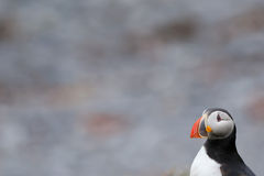 An isolated Puffin portrait in Iceland. An isolated Puffin bird portrait in Iceland royalty free stock image