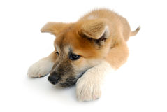 Isolated Puppy Stock Images