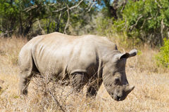 Isolated puppy rhinoceros, South Africa Royalty Free Stock Photos