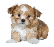 Isolated puppy on white Royalty Free Stock Photos