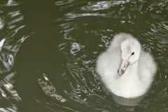 Isolated puppy young Swan portrait looking at you. Isolated puppy very young White Swan portrait looking at you stock photo