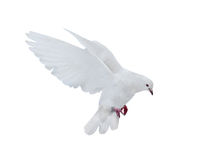 Isolated pure white dove royalty free stock photography