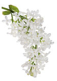 Isolated pure white lilac single branch Royalty Free Stock Photography