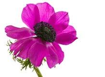 Isolated purple anemone flower blossom. Macro of an isolated purple anemone flower blossom Royalty Free Stock Photos