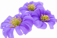 Isolated purple blossoms Stock Images
