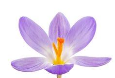 Isolated Purple Crocus Blossom Stock Photo