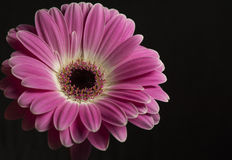 Isolated Purple flower on the black background Stock Images