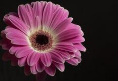 Isolated Purple flower on the black background. Rosa Gerbera vor eine Schwarze Hintergrund stock images