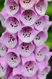 Isolated Purple Foxglove flowers closeup Stock Photography