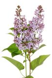 Isolated purple lilac Royalty Free Stock Images