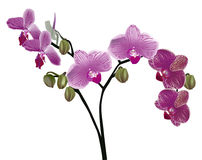 Isolated purple orchid floral branch Stock Photo