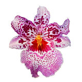 Isolated Purple Orchid Flower Stock Image