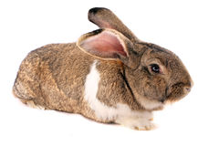 Isolated Rabbit Stock Photography
