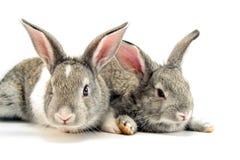 Isolated Rabbits. Two white rabbits isolated on white background royalty free stock photo
