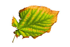 Isolated Ragged Leaf Stock Photos
