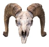 Isolated Ram Skull royalty free stock images
