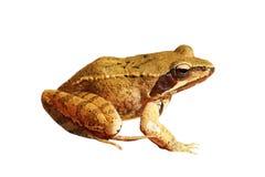 Isolated Rana dalmatina. Rana dalmatina or agile frog isolated over white background stock images