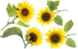 Isolated real mini sunflowers set Stock Photos