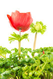 Isolated red Anemone flower blossom Stock Photo
