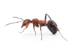 Free Isolated Red Ant Stock Photos - 49753613